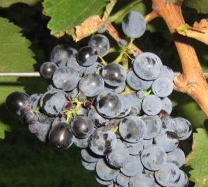 georgische wijn druiven