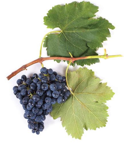 saperavi druiventros
