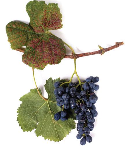 mujuretuli druiventros